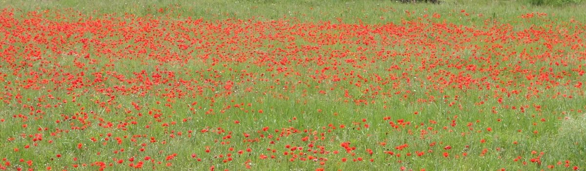 Tuscookany poppies in Poppi