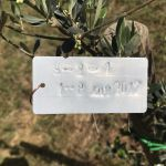 1-7-17 The Tuscookany nurture Program Olive tree donated 1 July 2017 planted in Casa Ombuto