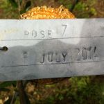 6-7-14 The Tuscookany nurture Program Olive tree donated on 6 July 2014 planted in Torre del Tartufo